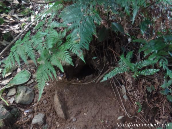 御蔵島『オオミズナギドリ』巣穴画像