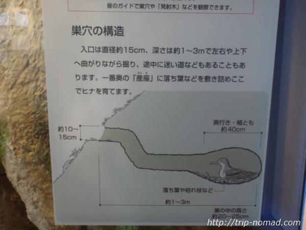 御蔵島『オオミズナギドリ』巣穴と生態画像