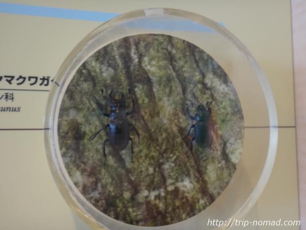 御蔵島『ミクラミヤマクワガタ』画像