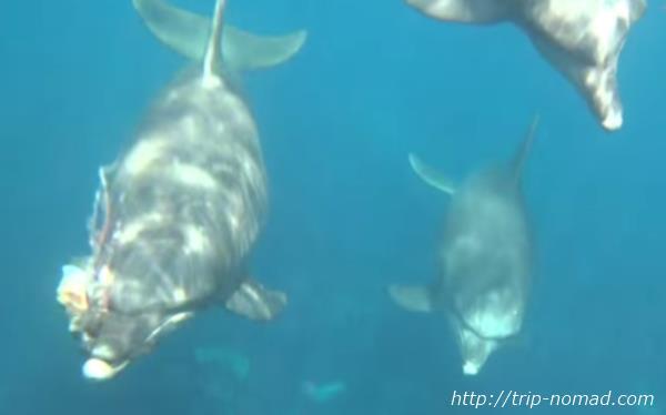 御蔵島『イルカウォッチング&ドルフィンスイム』イルカがタコをくわえている画像