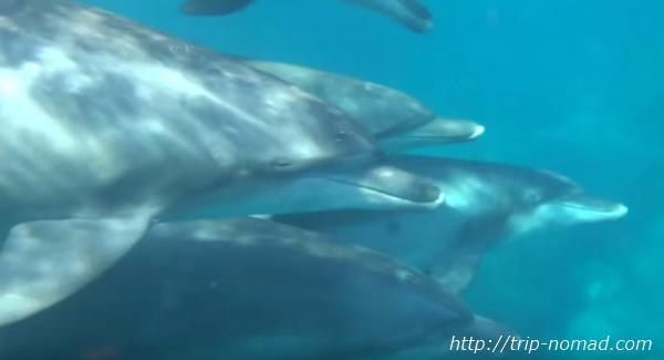 御蔵島『イルカウォッチング&ドルフィンスイム』イルカの大群画像
