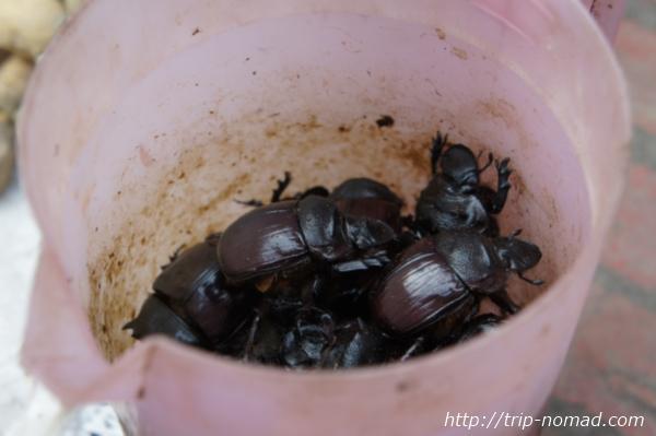 ラオス『ルアンパバーン』食材虫画像