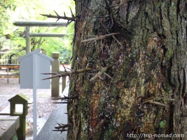 『伊弉諾神宮』トゲが生えている木画像