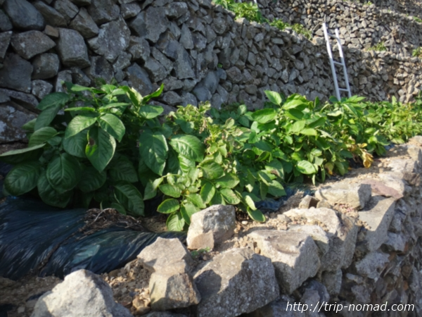 『遊子水荷浦の段畑』栽培しているじゃがいも画像