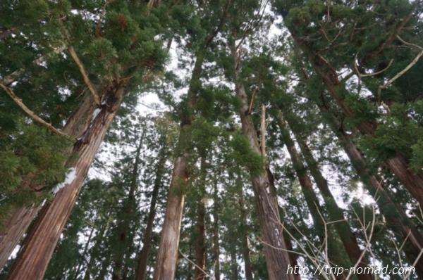 青森県弘前市『岩木山神社』の木