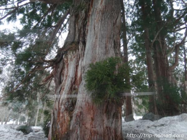 立山黒部アルペンルート巨大な立山杉