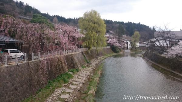 飛騨高山「中橋」から見えるしだれ桜