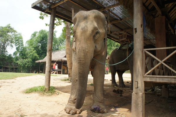 【ラオス】世界遺産「ルアンパバーン」で念願のゾウに乗る!ゾウの背中からの景色は絶景?【動画あり】