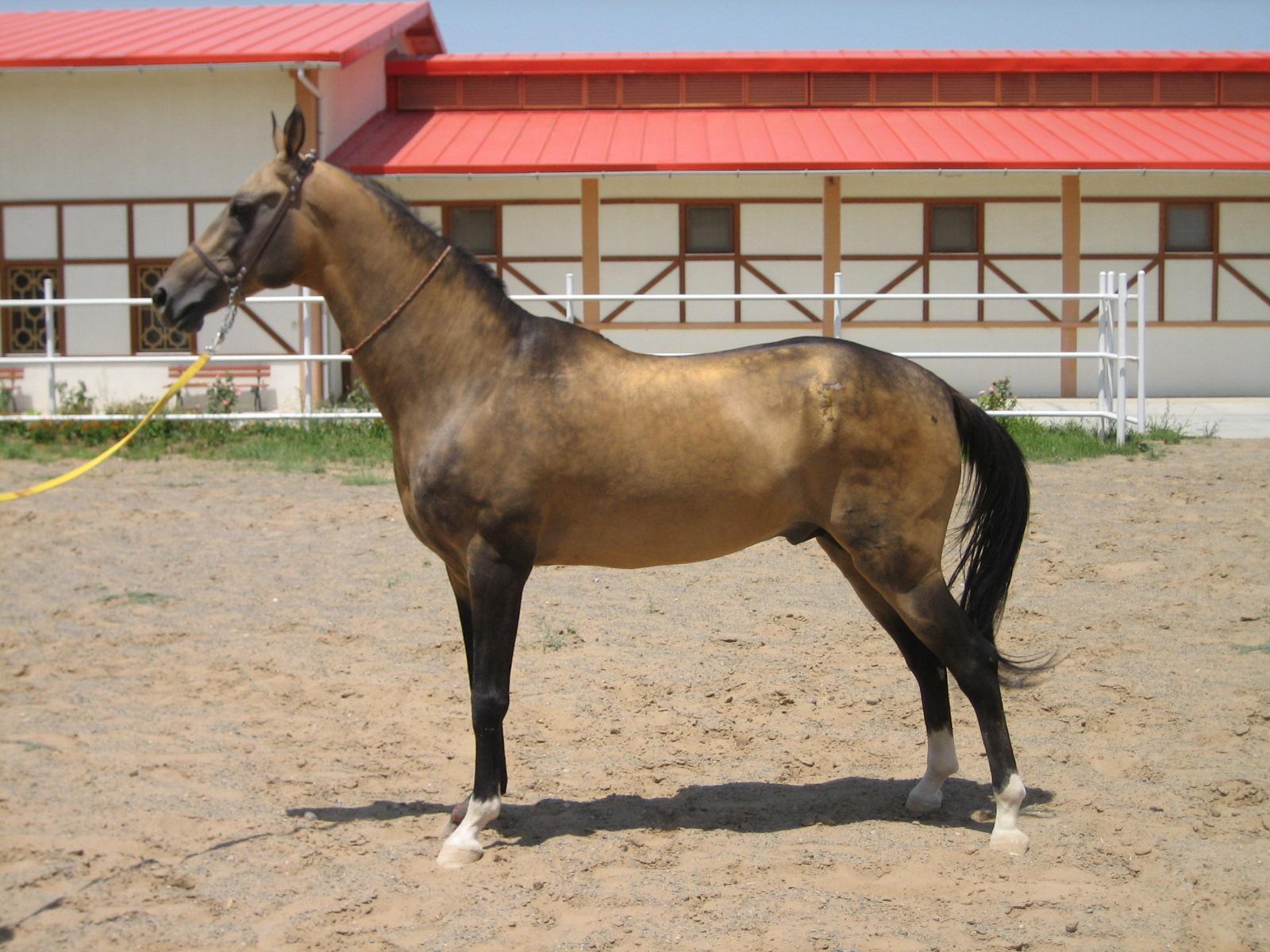【トルクメニスタン】馬好き必見!これが幻の黄金馬「アハルテケ」だ!トルクメニスタン国章のモデルがコレ!
